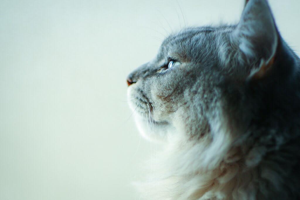 猫 目 ピント