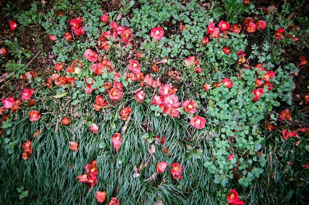 写ルンです 花 椿