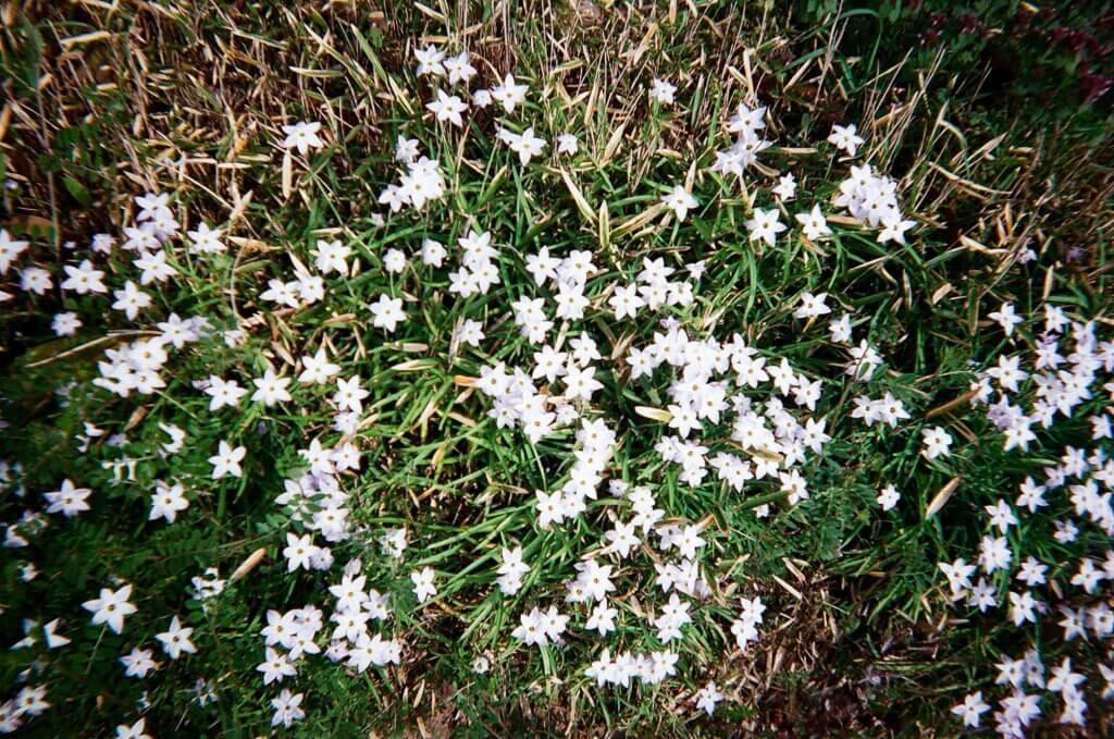 写ルンです 白い花