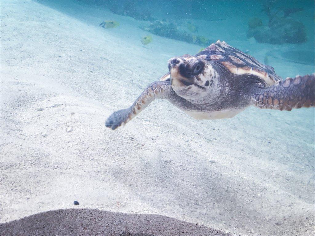 鴨川シーワールド ウミガメ