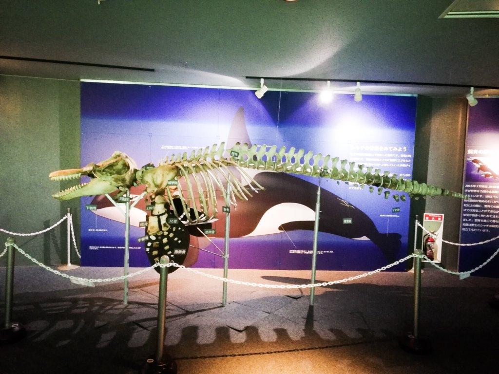 鴨川シーワールド シャチ 標本