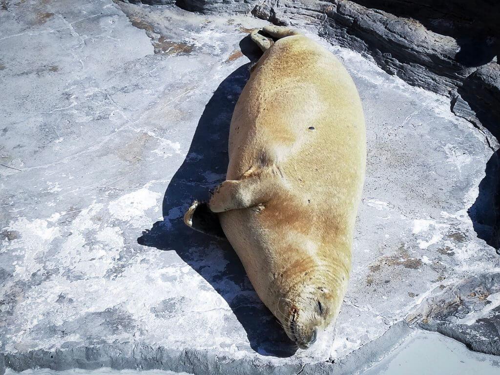 鴨川シーワールド アザラシ 寝てる