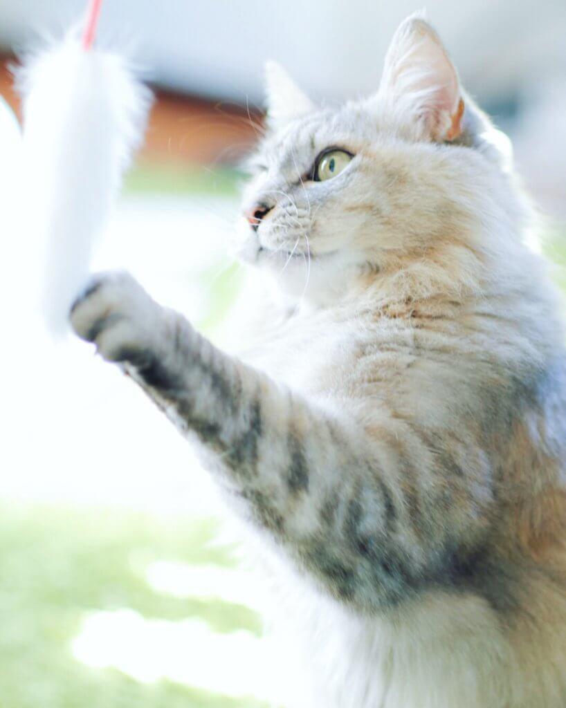 猫じゃらし 猫 可愛い写真