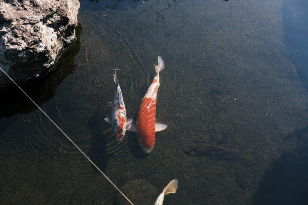 君津 伝 外観 鯉